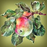 Watercolor apple on a branch. Floral illustration. Limepeel background. Watercolor apple branch limepeel background fruit handiwork design floral leaf green Royalty Free Stock Image
