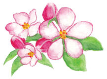 Watercolor apple flowers Royalty Free Stock Images