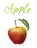 Watercolor apple with leaf and lettering. Botanical illustration Royalty Free Stock Images