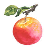 Watercolor apple with leaf Royalty Free Stock Images
