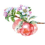 Watercolor apple tree branch with flowers and apples. Spring background. Vector Royalty Free Stock Photo