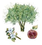 Watercolor apple tree. Stock Photography