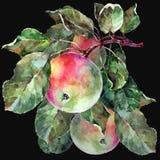 Watercolor apples on a branch. Floral illustration. Black background. Watercolor apple branch background fruit handiwork design floral leaf green  illustration Stock Image