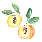 Watercolor apricot fruit illustration. Stock Image