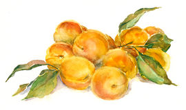 Watercolor apricots royalty free stock photography