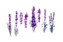 Watercolor or Aquarelle Paintings of Lavender. Set of Isolated Watercolour Lavandula or Hand Drawn Tea Herbs Flower. Summer Blossom or Foliage of Garden Plant royalty free illustration