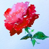 Watercolor art  background  colorful flower  rose red symbol love valentines. Watercolor art abstract background bright wash blurred textured decoration handmade Stock Photography