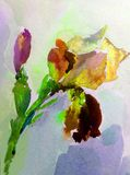 Watercolor art background   violet purple white yellow flower iris single colorful textured wet wash blurred. Art background extruded watercolor. textured wet Royalty Free Stock Photo