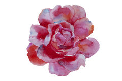 Watercolor art pink rose original illustration isolated on white. Background Royalty Free Stock Photo