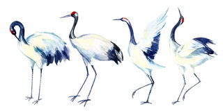 Watercolor asian crane bird set Royalty Free Stock Images