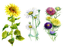 Watercolor aster, chrysanthemum, sunflower, chamomile  bouquet. On a white background illustration Royalty Free Stock Photos