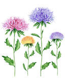 Watercolor asters. Hand drawn watercolor image. The author is Ekaterina Mikheeva, date of creation - December, 2015 Royalty Free Stock Photo