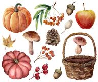 Watercolor autumn harvest bright set. Hand painted pumpkins, leaves, mushrooms, rowan, apple, cone, acorn, woven basket royalty free illustration