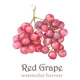 Watercolor autumn harvest. Isolated hand-drawn illustration  of  red grape on the white background Royalty Free Stock Photos