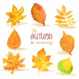 Watercolor autumn red, yellow, green leaves on Royalty Free Stock Image