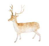 Watercolor Baby Deer Hand Painted Fawn Illustration isolated on white background vector illustration
