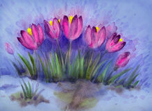 Watercolor background of early spring flowers. Crocus Royalty Free Stock Images