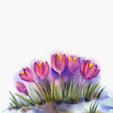 Watercolor background  of early spring flowers. Crocus. Watercolor background for text. Sketch of early spring flowers. In the thaw of snow grew small group of Stock Image