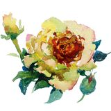 Watercolor art  background  colorful flower  rose. Watercolor background handmade art nature flower rose tea yellow pink red white textured wet wash blurred Stock Photo