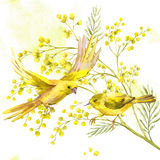 Watercolor Background of Mimosa, Yellow Bird. Sprig of Mimosa and Yellow Bird, Spring Watercolor Background, Floral Greeting Card stock illustration