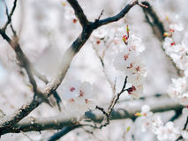 Watercolor background. White sharp and defocused flowers blooming tree. Apricot flowers. Blooming tree branches with white flowers royalty free stock image