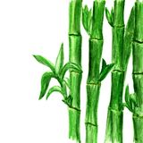 Watercolor bamboo background on white vector illustration