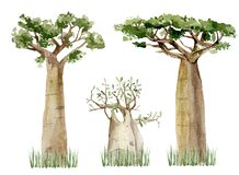 Free Watercolor Baobab Tree Set Isolated On White Background. Hand Drawn Illustration Of Nature Africa. Royalty Free Stock Photo - 172053555