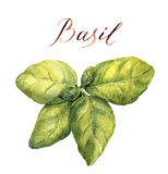 Watercolor basil. Botanical illustration. Fresh green basil leaves Royalty Free Stock Images