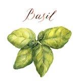 Watercolor basil. Botanical illustration. Fresh green basil leaves royalty free illustration