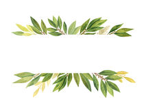 Watercolor Bay leaf isolated on white background. Watercolor hand drawn banner Bay leaf isolated on white background. Organic products for the design of healthy Stock Photo