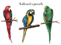 Watercolor beautiful three parrot. Hand painted red, blue-and-yellow and green parrot isolated on white background Stock Image