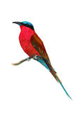 Watercolor bee-eater. Handmade watercolor illustration of southern carmine bee-eater. Beautiful colors of exotic African singing bird. Isolated on white Stock Photography