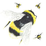 Watercolor bees isolated on white. Royalty Free Stock Photos