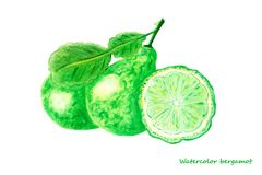 Watercolor bergamot. Design elements for background, banner,holiday card design. Hand painting artistic texture stock photos