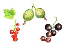 Watercolor berries Stock Photos