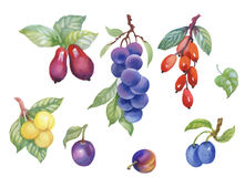 Watercolor berries, plum and other fruit on white background Royalty Free Stock Photo