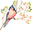 Watercolor bird card: tufted titmouse on a blooming branch. Royalty Free Stock Image