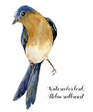 Watercolor bird. Hand painted illustration with robin redbreast isolated on white background. Nature print for design. Royalty Free Stock Image