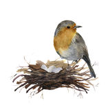 Watercolor bird sitting on nest with eggs. Hand painted illustration with robin isolated on white background. Nature Royalty Free Stock Photo