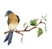 Watercolor bird sitting on tree branch with leaves. Hand painted spring illustration with robin redbreast isolated on Stock Images