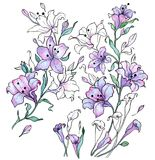 Watercolor and black contour of lilac lilies. Stock Photo