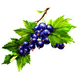 Watercolor black currants isolated on white Stock Photography