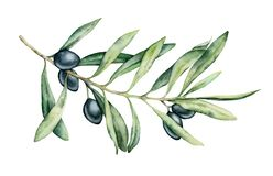 Watercolor black olive branch set. Hand painted floral illustration with olive fruit and tree branches with leaves. Isolatedon white background. For design royalty free illustration