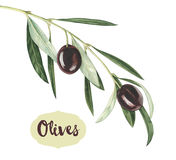 Watercolor black olive branch. Black olive branch on white background. Hand drawn watercolor illustration royalty free illustration