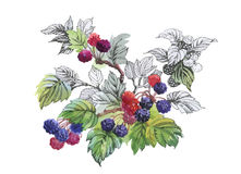 Watercolor blackberry on white background Royalty Free Stock Image