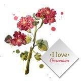 Watercolor blooming geranium Royalty Free Stock Image