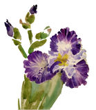 Watercolor blooming iris flowers illustration Royalty Free Stock Images
