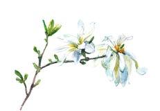 watercolor blooming magnolia Royalty Free Stock Image