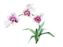 Watercolor blossoming branch Orchids Royalty Free Stock Image