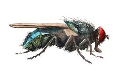 Watercolor blow fly. Watercolor image of realistic blow fly on white background royalty free illustration